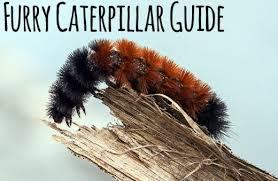 Black Caterpillar Identification Chart 17 Furry Caterpillar Types An Identification Guide Owlcation