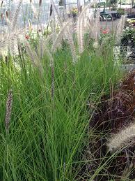 Pennisetum Setaceum Rupelli