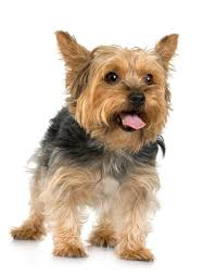 silky dog. some of the health issues affecting silky terriers commonly occur in small breeds. dog