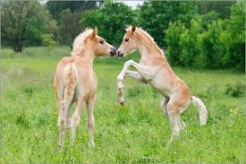 baby horses playing. Wonderful Baby Inside Baby Horses Playing I