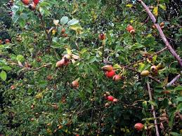 White Bryony Berries In A Norfolk Hedgerow  Wortcunning Fruit Tree Hedgerow