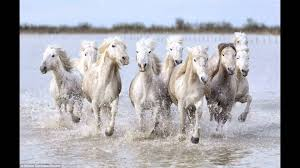 wild white horses running free. Unique Horses The Reallife Unicorns Magical Shots Of Wild White Horses Racing Through  French Marshes At Camargue  YouTube With Wild White Horses Running Free I
