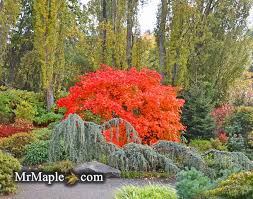 Small Picture Focal Point Planting Garden Design Japanese Maples garden2