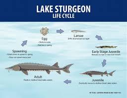 Lake Sturgeon Life Cycle Lake Sturgeon Sturgeon Fish