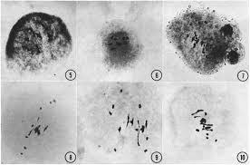 (1970) Hybrids of Trifolium pratense X Trifolium pallidum