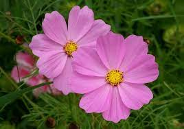 pink colour flower images free stock