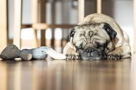 bamboo floor sleeping dog