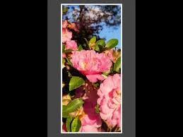 camellias in lakeland ga
