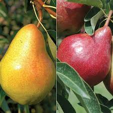 Jimmyu0027s Edible BackyardTriple Grafted Fruit Trees