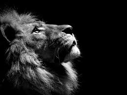 hd wallpaper lion black and