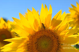 Sunflower Photograph by Jodie Sims