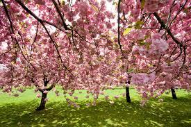 bbg cherry trees brooklyn botanic garden