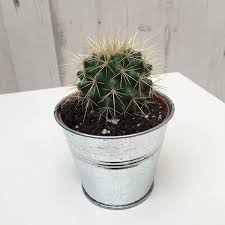 compost specialist cacti compost rate of growth slow hardiness tender indoors only cur height approximately 10cm including pot