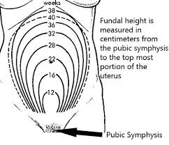 Fundal Height The Bump