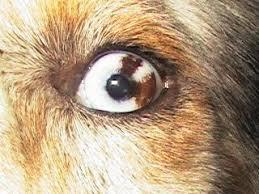Aussie Eye Color And Eyeshine
