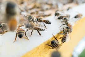 Bee Collapse The Varroa Mite Is More Destructive Than