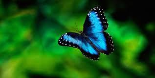 mavi kelebek resimleri ile ilgili görsel sonucu