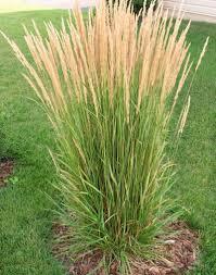 Tall Decorative Grass Karl Foerster Feather Reed Grass