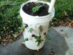 bucket gardening. Bucket Gardening L
