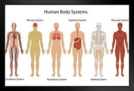 Amazon Com Systems Of Human Body Anatomy Chart Illustration