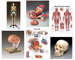 Laminated Anatomical Charts Charts