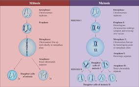 Mitosis Versus Meiosis Chart Production Of Daughter Cells Mitosis Vs Meiosis