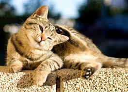 Flea Control in Cats   petMD