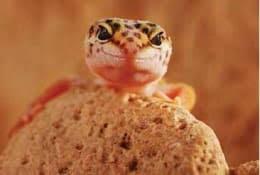 Kembang genjer bumbu belacan pecak klandingan. Fun Facts About Leopard Geckos Petco