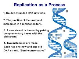 Dna Replication Senior Biology Mrs Brunone Ppt Video Online Download