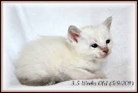 Siamese Kitten Growth Chart Siamese Cat Weight Chart All About Foto Cute Cat Mretmlle Com