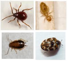 Bedbugs Images Dont Panic Bugs That Look Like Bed Bugs Streeteasy