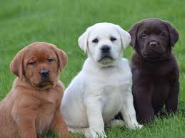 english yellow lab puppies. Fine Yellow Inside English Yellow Lab Puppies R