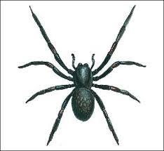 Australian House Spiders Chart Spider Identification Chart Distribution Venom Toxicity