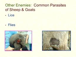 Goat Lice Other Enemies Common Parasites Of Sheep Goats Goat Lice