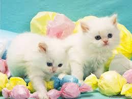 beautiful white cats wallpaper.  Wallpaper Beautiful White Cats Wallpaper Inside P