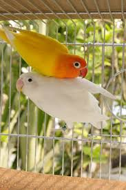white and yellow love birds pictures