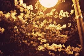 branch blossom plant street sunlight leaf flower produce autumn lamp yellow flora cherry blossom night view
