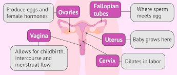 Female Reproductive System Chart Flow Chart Of The Internal Female Reproductive Organs