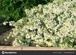 bougainvillea white stripe flowers in florida botanical gardens photo by