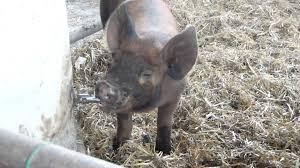 pig waterer diy at graise farm