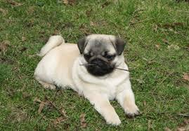 newborn baby pugs for sale. Plain Sale Throughout Newborn Baby Pugs For Sale E