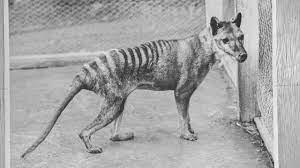 La tigre della Tasmania potrebbe non essersi estinta nel 1936