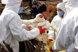 Резултат слика за птичији грип
