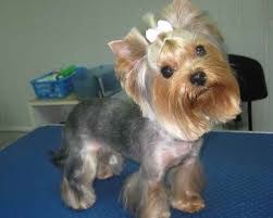 female yorkie hairstyle before and after