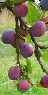 Summer Fruit Tree  12 Choices  GrabOne StorePlum Fruit Tree Varieties
