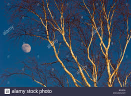 White birch tree branches and rising moon, Greater Sudbury, Ontario, Canada