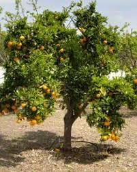 209 Best Garden Growing Fruit Zone 9 Images On Pinterest  Fruit Full Size Fruit Trees For Sale