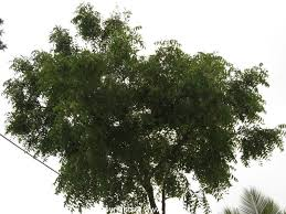 "neem tree neem tree belongs to the mahogany family meliaceae botanical of the tree is azadirachta indica and in kannada it is known as ""bevu"""