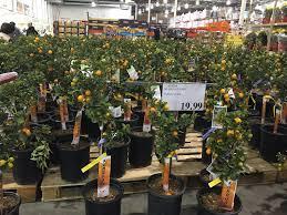 photo of costco whole garden grove ca united states quat trees 20