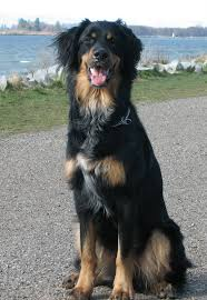 bernese mountain dog mix. Plain Mix Bernese Mountain Dog Lab Mix Pictures In I